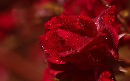 Bos van rode rozen royalty-vrije stock foto's