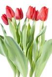 Bos van Rode Tulpen Stock Afbeelding
