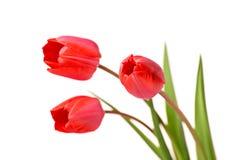 Bos van rode tulpen stock fotografie