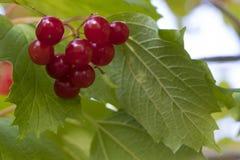 Bos van rode viburnum Royalty-vrije Stock Afbeeldingen
