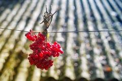 Bos van rode viburnum Stock Foto's