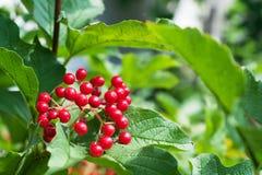 Bos van rode viburnum Royalty-vrije Stock Foto