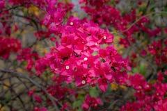 Bos van rode wilde bloemen Stock Foto
