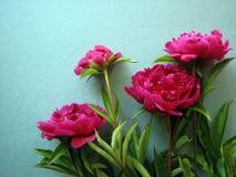 Bos van Roze Pioenbloemen Stock Afbeelding