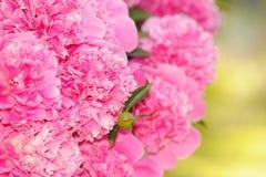 Bos van Roze Pioenbloemen Stock Fotografie