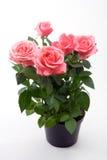 Bos van roze rozen royalty-vrije stock fotografie