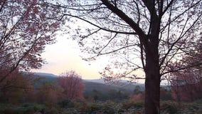 Bos van roze sakurabloesems bij de berg van Phu Lom Lo, Thailand stock videobeelden