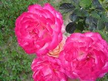 Bos van rozen Stock Foto's