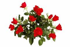 Bos van rozen Royalty-vrije Stock Foto's