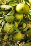 Bos van sinaasappelen Stock Foto's