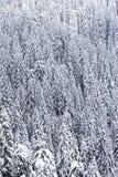 Bos van sneeuw behandelde pijnboombomen royalty-vrije stock foto