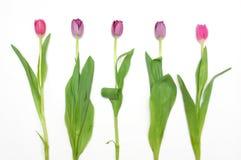 Bos van tot bloei gekomen tulpen Royalty-vrije Stock Foto