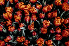 Bos van tulpen Royalty-vrije Stock Afbeeldingen