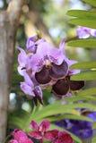 Bos van twee gestemde de orchideebloem van kleuren purpere en donkere purpere Vanda Royalty-vrije Stock Fotografie