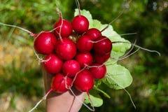 Bos van vers geoogst om radijs in een hand, grote bos van verse organische groenten, Royalty-vrije Stock Foto