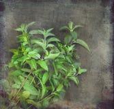 Bos van verse groene munt Royalty-vrije Stock Afbeelding