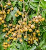 Bos van verse Longan op de boom, Thailand Royalty-vrije Stock Afbeeldingen