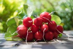 Bos van verse ronde radijs op de lijst in de tuin, grote bos van verse organische groenten, Royalty-vrije Stock Afbeeldingen