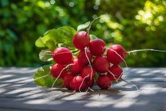 Bos van verse ronde radijs op de lijst in de tuin, grote bos van verse organische groenten, Stock Afbeeldingen