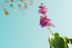 Bos van violette bloemen Lagerstroemia onder blauwe hemel met tekstruimte Royalty-vrije Stock Afbeeldingen