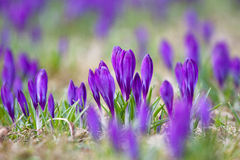 Bos van Violette krokussen stock foto's