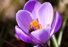 Bos van Violette krokussen royalty-vrije stock foto's