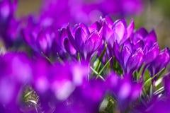 Bos van Violette krokussen stock fotografie