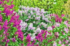 Bos van violette lilac bloem Royalty-vrije Stock Fotografie