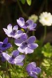 Bos van vrij purpere Anemonen in volledige bloei met een natuurlijke tuinachtergrond royalty-vrije stock foto