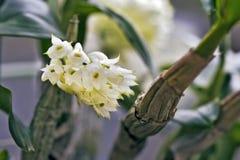 Bos van weinig witte orchidee op grijze achtergrond Stock Afbeelding