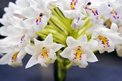 Bos van weinig witte orchidee op grijze achtergrond Royalty-vrije Stock Foto