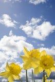 Bos van wilde gele narcissen Royalty-vrije Stock Foto's