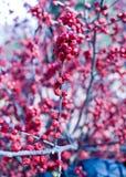 Bos van Winterberry stock afbeelding