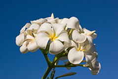 Bos van Witte Bloemen Frangipani en Blauwe Hemel Stock Afbeeldingen
