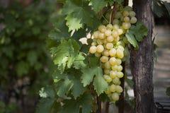 Bos van witte druiven Stock Foto's