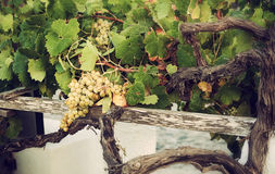 Bos van witte druiven in de wijngaard stock foto's