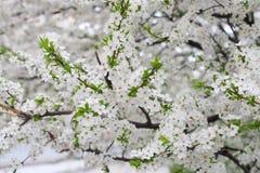 Bos van witte kersenbloemen Royalty-vrije Stock Fotografie