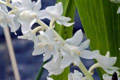 Bos van witte orchidee op blauwe achtergrond Stock Foto