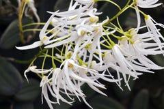 Bos van witte orchidee op donkere achtergrond Stock Afbeeldingen