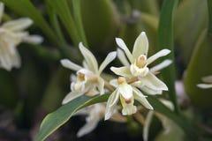 Bos van witte orchidee op grijze achtergrond Stock Foto's