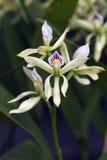 Bos van witte orchidee op grijze achtergrond Royalty-vrije Stock Fotografie