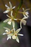 Bos van witte orchidee op grijze achtergrond Royalty-vrije Stock Afbeelding