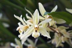 Bos van witte orchidee op grijze achtergrond Royalty-vrije Stock Foto's
