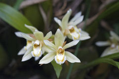 Bos van witte orchidee op grijze achtergrond Stock Afbeeldingen