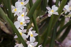 Bos van witte orchidee op groene achtergrond Royalty-vrije Stock Foto's