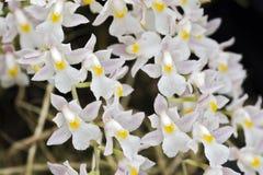 Bos van witte orchidee op groene achtergrond Stock Afbeeldingen
