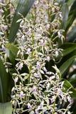 Bos van witte orchidee op groene achtergrond Royalty-vrije Stock Foto