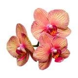 Bos van zachte phalaenopsis drie Royalty-vrije Stock Foto's