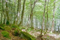 Bos van zwarte populieren met stenen met mos Royalty-vrije Stock Foto