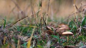 Bos weinig bruine paddestoel in het gras Royalty-vrije Stock Afbeelding